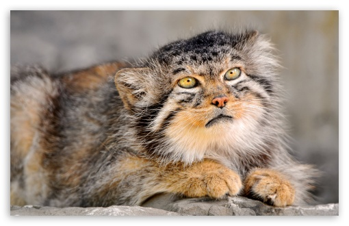 Manul HD wallpaper for Wide 16:10 5:3 Widescreen WHXGA WQXGA WUXGA WXGA WGA ; HD 16:9 High Definition WQHD QWXGA 1080p 900p 720p QHD nHD ; Standard 4:3 5:4 3:2 Fullscreen UXGA XGA SVGA QSXGA SXGA DVGA HVGA HQVGA devices ( Apple PowerBook G4 iPhone 4 3G 3GS iPod Touch ) ; Tablet 1:1 ; iPad 1/2/Mini ; Mobile 4:3 5:3 3:2 16:9 5:4 - UXGA XGA SVGA WGA DVGA HVGA HQVGA devices ( Apple PowerBook G4 iPhone 4 3G 3GS iPod Touch ) WQHD QWXGA 1080p 900p 720p QHD nHD QSXGA SXGA ;