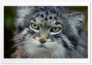 Manul Cat HD Wide Wallpaper for Widescreen