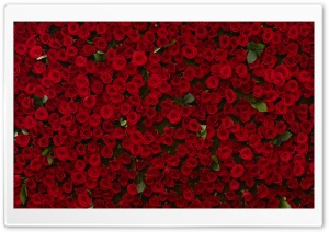 Many Red Roses HD Wide Wallpaper for Widescreen