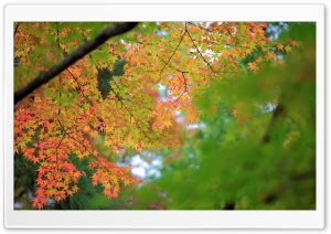 Maple, Autumn HD Wide Wallpaper for Widescreen