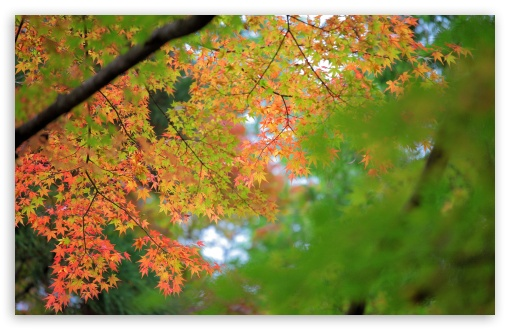 Maple, Autumn ❤ 4K UHD Wallpaper for Wide 16:10 5:3 Widescreen WHXGA WQXGA WUXGA WXGA WGA ; 4K UHD 16:9 Ultra High Definition 2160p 1440p 1080p 900p 720p ; UHD 16:9 2160p 1440p 1080p 900p 720p ; Standard 4:3 5:4 3:2 Fullscreen UXGA XGA SVGA QSXGA SXGA DVGA HVGA HQVGA ( Apple PowerBook G4 iPhone 4 3G 3GS iPod Touch ) ; Smartphone 5:3 WGA ; Tablet 1:1 ; iPad 1/2/Mini ; Mobile 4:3 5:3 3:2 16:9 5:4 - UXGA XGA SVGA WGA DVGA HVGA HQVGA ( Apple PowerBook G4 iPhone 4 3G 3GS iPod Touch ) 2160p 1440p 1080p 900p 720p QSXGA SXGA ;