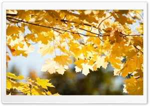 Maple Branch In The Fall Ultra HD Wallpaper for 4K UHD Widescreen desktop, tablet & smartphone