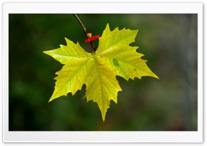 Maple Leaf Fall HD Wide Wallpaper for Widescreen