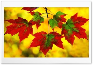 Maple Leaves HD Wide Wallpaper for 4K UHD Widescreen desktop & smartphone