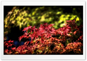 Maple Leaves, Autumn, Japan HD Wide Wallpaper for Widescreen