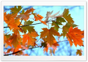 Maple Leaves Branches HD Wide Wallpaper for Widescreen