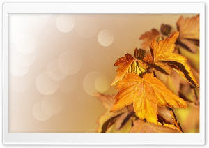 Maple Leaves Closeup HD Wide Wallpaper for Widescreen