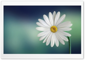 Marguerite Daisy Flower HD Wide Wallpaper for Widescreen