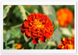 Marigold HD Wide Wallpaper for Widescreen