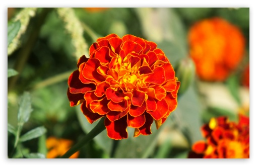 Marigold HD wallpaper for Wide 16:10 5:3 Widescreen WHXGA WQXGA WUXGA WXGA WGA ; HD 16:9 High Definition WQHD QWXGA 1080p 900p 720p QHD nHD ; Standard 4:3 5:4 3:2 Fullscreen UXGA XGA SVGA QSXGA SXGA DVGA HVGA HQVGA devices ( Apple PowerBook G4 iPhone 4 3G 3GS iPod Touch ) ; Tablet 1:1 ; iPad 1/2/Mini ; Mobile 4:3 5:3 3:2 16:9 5:4 - UXGA XGA SVGA WGA DVGA HVGA HQVGA devices ( Apple PowerBook G4 iPhone 4 3G 3GS iPod Touch ) WQHD QWXGA 1080p 900p 720p QHD nHD QSXGA SXGA ;