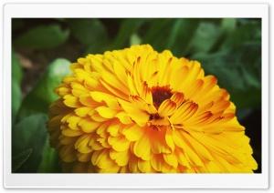 MariGold Ultra HD Wallpaper for 4K UHD Widescreen desktop, tablet & smartphone