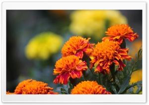 Marigold HD Wide Wallpaper for 4K UHD Widescreen desktop & smartphone