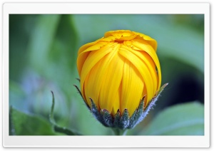 Marigold Calendula Bud Open HD Wide Wallpaper for Widescreen