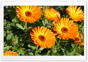 Marigold Flowers HD Wide Wallpaper for Widescreen