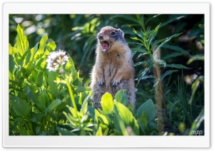 Marmot Screaming HD Wide Wallpaper for Widescreen