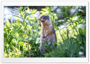 Marmot Still Screaming HD Wide Wallpaper for Widescreen