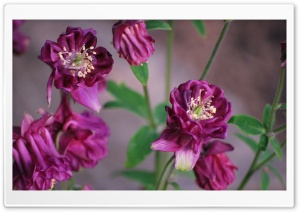 Maroon Flowers Ultra HD Wallpaper for 4K UHD Widescreen desktop, tablet & smartphone