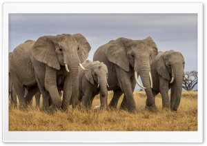 Masai Mara Elephants Ultra HD Wallpaper for 4K UHD Widescreen desktop, tablet & smartphone