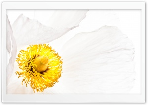 Matilija Poppy Flower Macro HD Wide Wallpaper for Widescreen