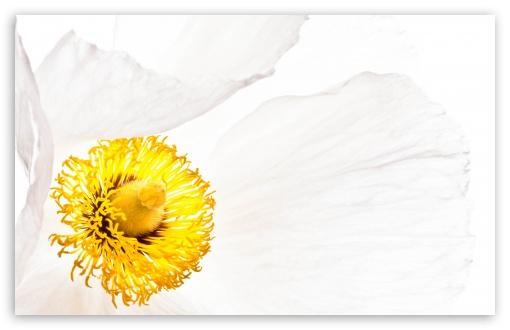 Matilija Poppy Flower Macro ❤ 4K UHD Wallpaper for Wide 16:10 5:3 Widescreen WHXGA WQXGA WUXGA WXGA WGA ; UltraWide 21:9 24:10 ; 4K UHD 16:9 Ultra High Definition 2160p 1440p 1080p 900p 720p ; UHD 16:9 2160p 1440p 1080p 900p 720p ; Standard 4:3 5:4 3:2 Fullscreen UXGA XGA SVGA QSXGA SXGA DVGA HVGA HQVGA ( Apple PowerBook G4 iPhone 4 3G 3GS iPod Touch ) ; Smartphone 16:9 3:2 5:3 2160p 1440p 1080p 900p 720p DVGA HVGA HQVGA ( Apple PowerBook G4 iPhone 4 3G 3GS iPod Touch ) WGA ; Tablet 1:1 ; iPad 1/2/Mini ; Mobile 4:3 5:3 3:2 16:9 5:4 - UXGA XGA SVGA WGA DVGA HVGA HQVGA ( Apple PowerBook G4 iPhone 4 3G 3GS iPod Touch ) 2160p 1440p 1080p 900p 720p QSXGA SXGA ; Dual 16:10 5:3 16:9 4:3 5:4 3:2 WHXGA WQXGA WUXGA WXGA WGA 2160p 1440p 1080p 900p 720p UXGA XGA SVGA QSXGA SXGA DVGA HVGA HQVGA ( Apple PowerBook G4 iPhone 4 3G 3GS iPod Touch ) ;