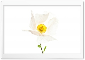 Matilija The White Poppy HD Wide Wallpaper for Widescreen