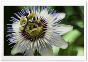 Maypop HD Wide Wallpaper for Widescreen