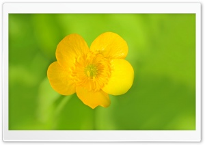 Meadow Buttercup HD Wide Wallpaper for Widescreen