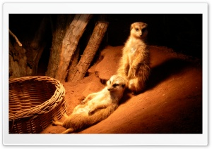 Meerkat HD Wide Wallpaper for Widescreen