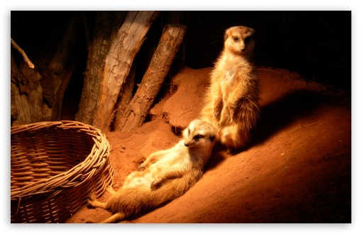 Meerkat ❤ 4K UHD Wallpaper for Wide 16:10 5:3 Widescreen WHXGA WQXGA WUXGA WXGA WGA ; 4K UHD 16:9 Ultra High Definition 2160p 1440p 1080p 900p 720p ; Standard 4:3 5:4 3:2 Fullscreen UXGA XGA SVGA QSXGA SXGA DVGA HVGA HQVGA ( Apple PowerBook G4 iPhone 4 3G 3GS iPod Touch ) ; Tablet 1:1 ; iPad 1/2/Mini ; Mobile 4:3 5:3 3:2 16:9 5:4 - UXGA XGA SVGA WGA DVGA HVGA HQVGA ( Apple PowerBook G4 iPhone 4 3G 3GS iPod Touch ) 2160p 1440p 1080p 900p 720p QSXGA SXGA ;