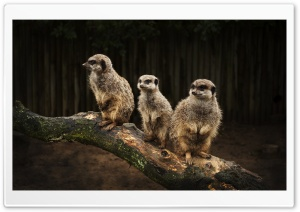Meerkat Family HD Wide Wallpaper for Widescreen