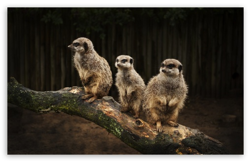 Meerkat Family HD wallpaper for Wide 16:10 5:3 Widescreen WHXGA WQXGA WUXGA WXGA WGA ; HD 16:9 High Definition WQHD QWXGA 1080p 900p 720p QHD nHD ; Standard 4:3 5:4 3:2 Fullscreen UXGA XGA SVGA QSXGA SXGA DVGA HVGA HQVGA devices ( Apple PowerBook G4 iPhone 4 3G 3GS iPod Touch ) ; Tablet 1:1 ; iPad 1/2/Mini ; Mobile 4:3 5:3 3:2 16:9 5:4 - UXGA XGA SVGA WGA DVGA HVGA HQVGA devices ( Apple PowerBook G4 iPhone 4 3G 3GS iPod Touch ) WQHD QWXGA 1080p 900p 720p QHD nHD QSXGA SXGA ;