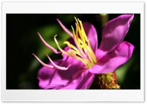 Melastoma Ultra HD Wallpaper for 4K UHD Widescreen desktop, tablet & smartphone