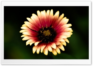 Mexican Blanket Flower HD Wide Wallpaper for Widescreen