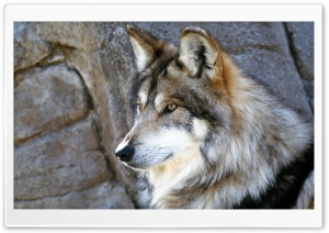Mexican Wolf HD Wide Wallpaper for Widescreen