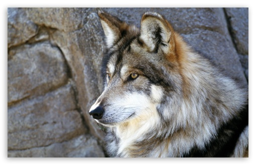 Mexican Wolf ❤ 4K UHD Wallpaper for Wide 16:10 5:3 Widescreen WHXGA WQXGA WUXGA WXGA WGA ; Standard 4:3 5:4 3:2 Fullscreen UXGA XGA SVGA QSXGA SXGA DVGA HVGA HQVGA ( Apple PowerBook G4 iPhone 4 3G 3GS iPod Touch ) ; Tablet 1:1 ; iPad 1/2/Mini ; Mobile 4:3 5:3 3:2 16:9 5:4 - UXGA XGA SVGA WGA DVGA HVGA HQVGA ( Apple PowerBook G4 iPhone 4 3G 3GS iPod Touch ) 2160p 1440p 1080p 900p 720p QSXGA SXGA ;