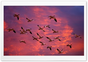 Migrating Snow Geese Skagit Flats Washington HD Wide Wallpaper for Widescreen