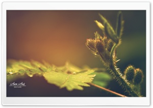 Mimosa HD Wide Wallpaper for Widescreen