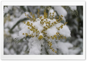 Mimosa Sous La Neige HD Wide Wallpaper for Widescreen