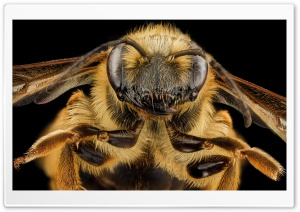 Mining Bee Face, Andrena Hilaris Macro HD Wide Wallpaper for Widescreen