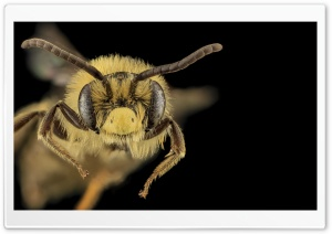 Mining Bee Macro, Andrena Asteroides HD Wide Wallpaper for Widescreen