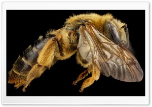 Mining Bee Side View, Andrena Hilaris HD Wide Wallpaper for Widescreen
