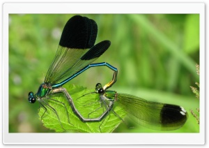 Mobarakabadvillage.ir - Dragonfly Mating HD Wide Wallpaper for Widescreen