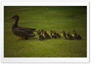 Mom And Baby Ducks HD Wide Wallpaper for Widescreen