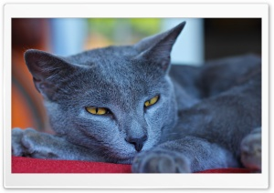 Mon Chartreux HD Wide Wallpaper for Widescreen
