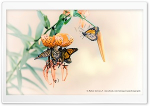 Monarch Butterflies HD Wide Wallpaper for Widescreen