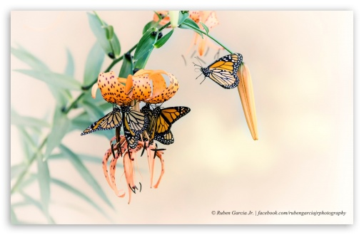 Monarch Butterflies ❤ 4K UHD Wallpaper for Wide 16:10 5:3 Widescreen WHXGA WQXGA WUXGA WXGA WGA ; 4K UHD 16:9 Ultra High Definition 2160p 1440p 1080p 900p 720p ; Standard 4:3 5:4 3:2 Fullscreen UXGA XGA SVGA QSXGA SXGA DVGA HVGA HQVGA ( Apple PowerBook G4 iPhone 4 3G 3GS iPod Touch ) ; iPad 1/2/Mini ; Mobile 4:3 5:3 3:2 16:9 5:4 - UXGA XGA SVGA WGA DVGA HVGA HQVGA ( Apple PowerBook G4 iPhone 4 3G 3GS iPod Touch ) 2160p 1440p 1080p 900p 720p QSXGA SXGA ;
