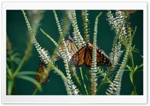 Monarch Butterfly On A Flower HD Wide Wallpaper for Widescreen