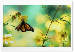 Monarch Butterfly On A Yellow Flower HD Wide Wallpaper for Widescreen