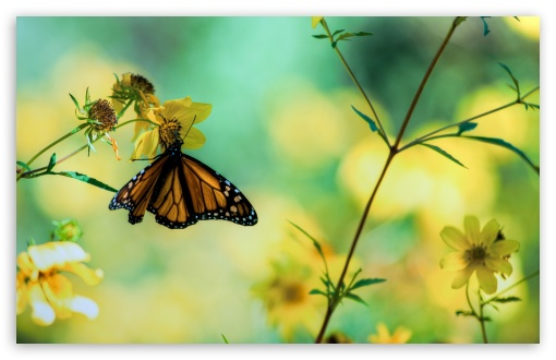 Monarch Butterfly On A Yellow Flower HD wallpaper for Wide 16:10 5:3 Widescreen WHXGA WQXGA WUXGA WXGA WGA ; HD 16:9 High Definition WQHD QWXGA 1080p 900p 720p QHD nHD ; Standard 4:3 5:4 3:2 Fullscreen UXGA XGA SVGA QSXGA SXGA DVGA HVGA HQVGA devices ( Apple PowerBook G4 iPhone 4 3G 3GS iPod Touch ) ; Tablet 1:1 ; iPad 1/2/Mini ; Mobile 4:3 5:3 3:2 16:9 5:4 - UXGA XGA SVGA WGA DVGA HVGA HQVGA devices ( Apple PowerBook G4 iPhone 4 3G 3GS iPod Touch ) WQHD QWXGA 1080p 900p 720p QHD nHD QSXGA SXGA ; Dual 16:10 5:3 16:9 4:3 5:4 WHXGA WQXGA WUXGA WXGA WGA WQHD QWXGA 1080p 900p 720p QHD nHD UXGA XGA SVGA QSXGA SXGA ;