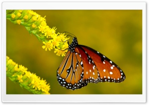 Monarch Butterfly on Yellow Flowers HD Wide Wallpaper for Widescreen